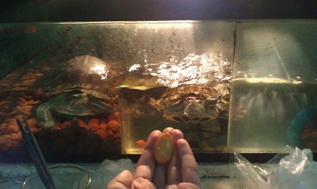 Когда красноухие черепахи откладывают яйца в домашних  369